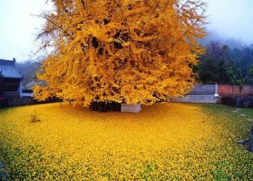 Graceful ginkgo tree