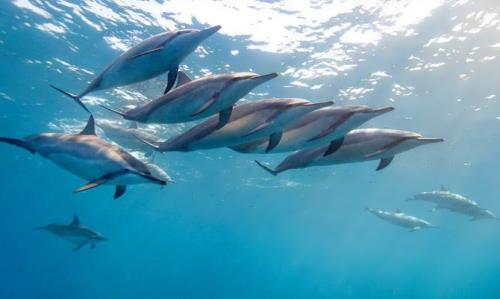 Great dolphins