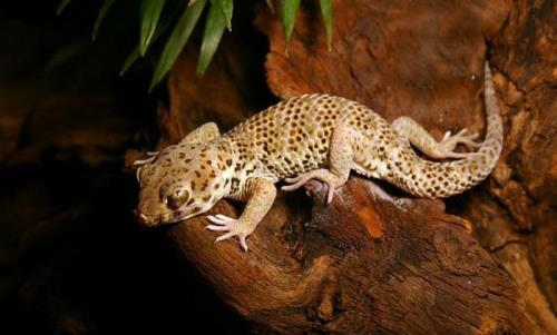 Great gecko