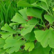 Great ginkgo leaves