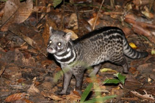 Interesting civet