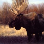 Interesting elk