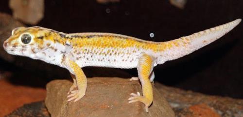 Interesting gecko