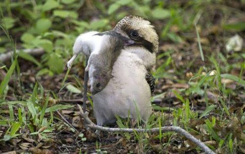 Interesting kookaburra