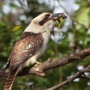 Kookaburra caught a frog