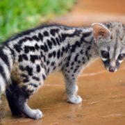 Little civet