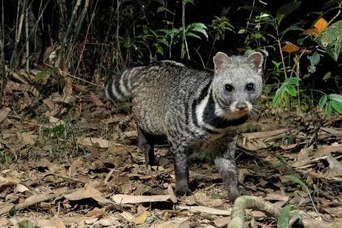 Lovely civet
