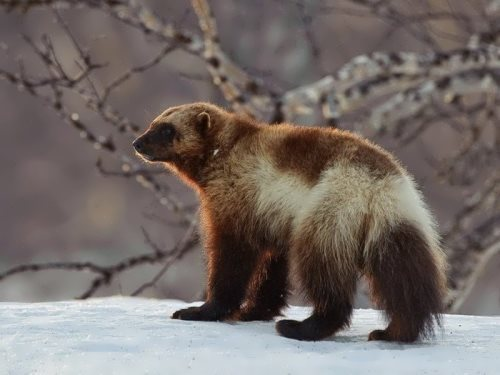Lovely wolverine