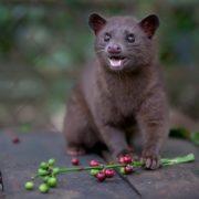 Magnificent civet