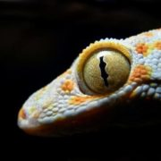 Magnificent gecko