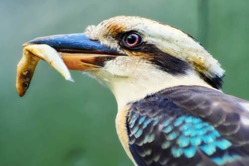 Magnificent kookaburra