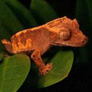 Majestic gecko