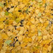 Majestic ginkgo leaves