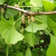 Male ginkgo tree