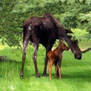 Mother and its calf