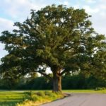 Oak – great tree