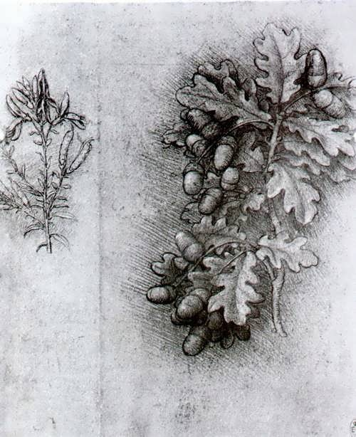Oak branch with acorns by Leonardo da Vinci