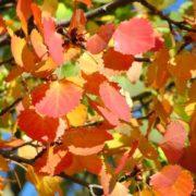 Poplar leaves