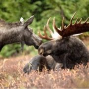 Pretty elks