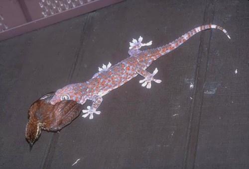 Pretty gecko