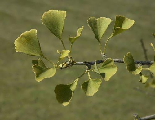 Pretty ginkgo tree