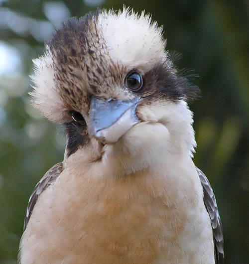 Pretty kookaburra
