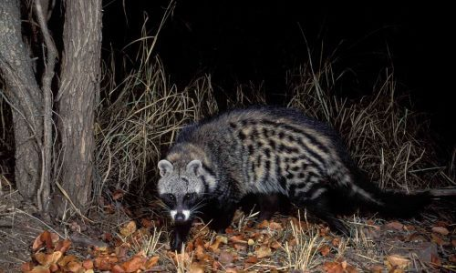 Stunning civet