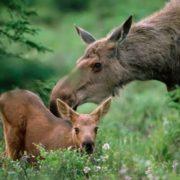 Stunning elks