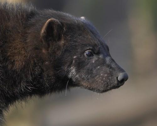 Stunning wolverine