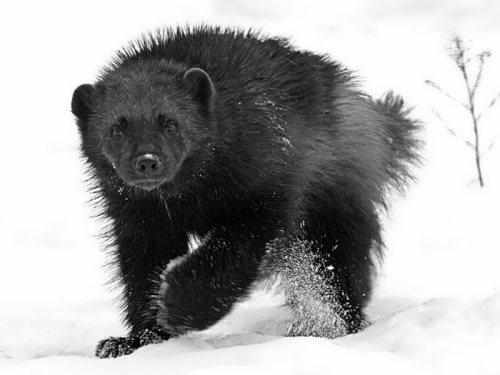 Wolverine - skunk bear