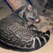 Wonderful civet