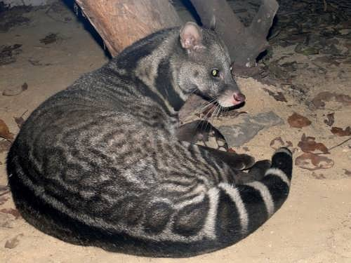 Wonderful civet