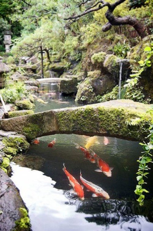 A pond with koi carps in a Japanese garden