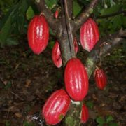 Amazing cacao tree pods
