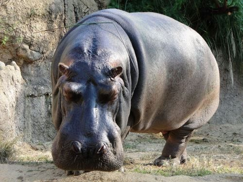 Amazing hippopotamus