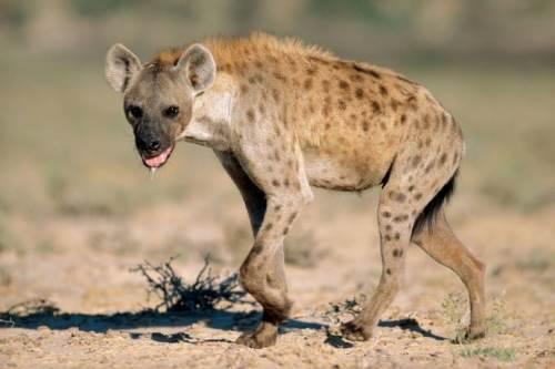 Amazing hyena