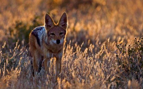 Amazing jackal