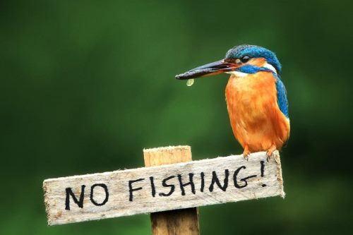 Amazing kingfisher