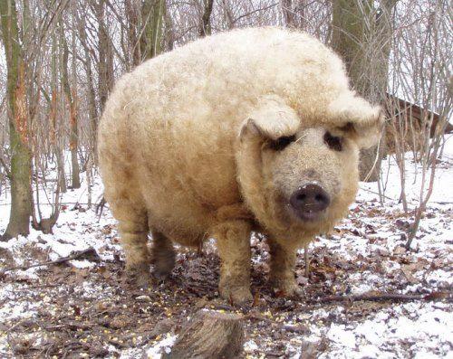 Amazing pig