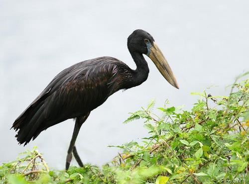 Amazing stork