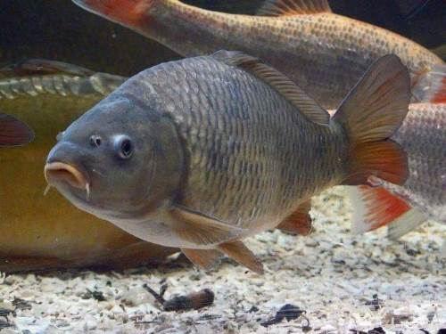 Attractive carp