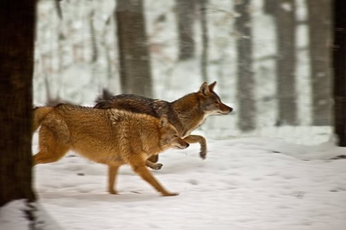 Attractive coyotes