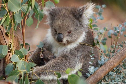 Attractive koala