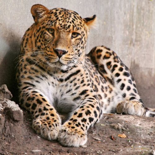 Attractive leopard