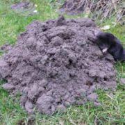 Attractive mole