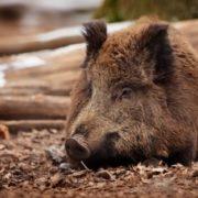 Attractive pig