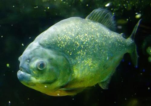Attractive piranha