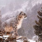 Attractive snow leopard