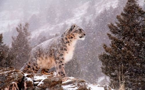 Attractive snow leopard