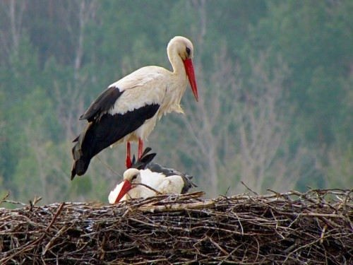 Attractive stork